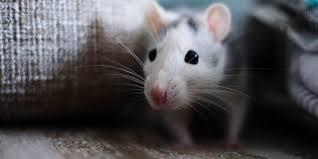 افضل النصائح فى التخلص والقضاء على الفئران